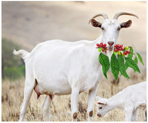 goats-discovered-coffee